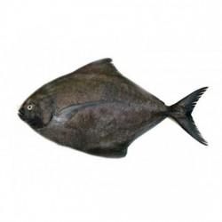 Black Pomfret Medium