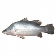 Chonak Whole Fish
