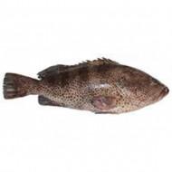 Gobro/Grouper (small)