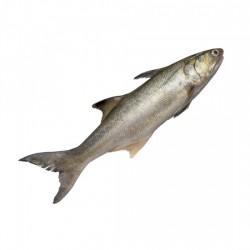 Indian Salmon / Rawas(Small)