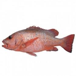 Red Snapper  (1kg-3kg)